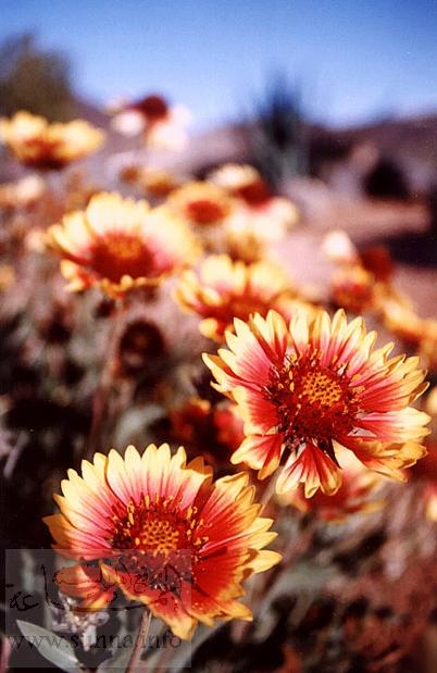 الورود.. والزهور ------ دلالات ومعاني Warda_927.jpg