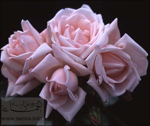 ادخلو وشوفي الورود وكل وحده تقولي رايها بصراحه يلاا ...ادخلوا وشوفوااا.... New_dawn-600